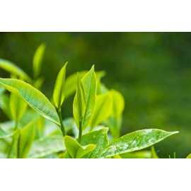 Tea tree oil 35 ml