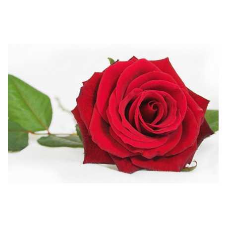 Růže 10ml